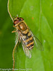 25 July 2010 - Syrphus vitripennis. Copyright Peter Drury 2010