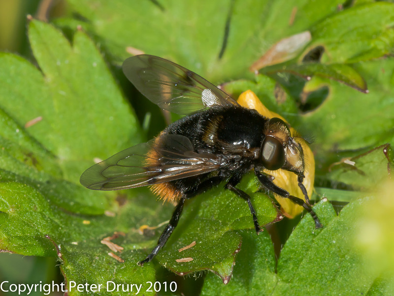 07 July 2010. Volucella bombylans. Copyright Peter Drury 2010