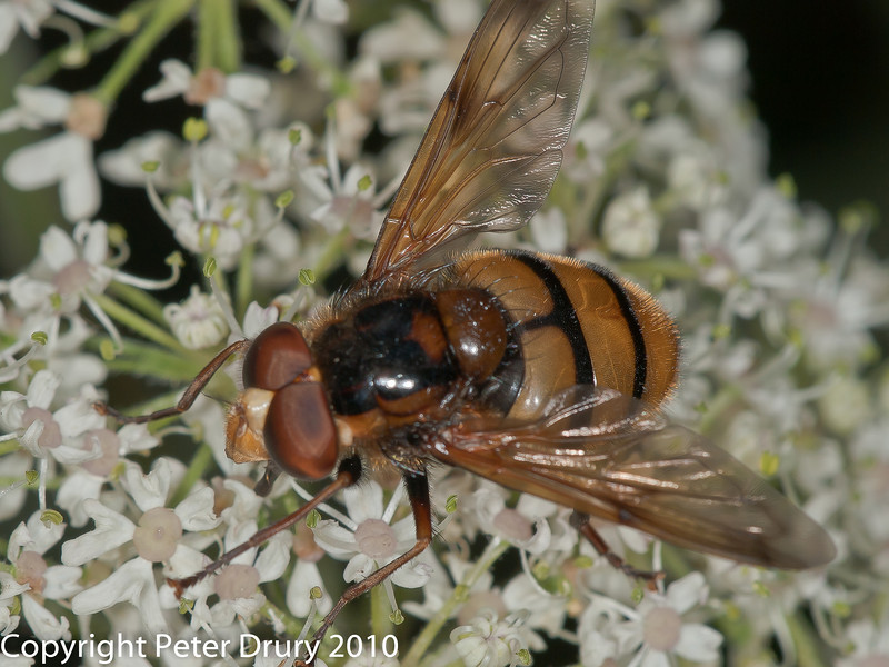 28 July 2010 - Volucella inanis. Copyright Peter Drury 2010<br /> The second sternite is yellow.