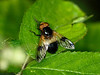 31 May 2011. Volucella pellucens at Creech Wood, Denmead. Copyright Peter Drury 2011