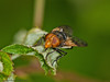 31 May 2011. Volucella pellucens at Creech Wood. Copyright Peter Drury 2011