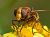 27 Aug 2010 - Volucella zonaria. Copyright Peter Drury 2010