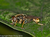 10 Aug 2010 - Xylota sylvarum. Copyright Peter Drury 2010