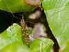 Limonia nubeculosa. Copyright Peter Drury 2010