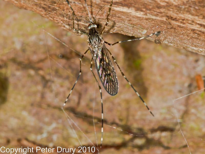 05 Oct 2010 - Mosquito (Culiseta annulata) at Plant Farm, Waterlooville. Copyright Peter Drury 2010