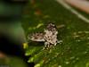 Moth Fly. Copyright 2009 Peter Drury