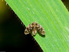 Moth Fly (psychrodids sp). Copyright 2009 Peter Drury<br /> This fly was tiny in the extreme. It is sitting on a blade of grass!