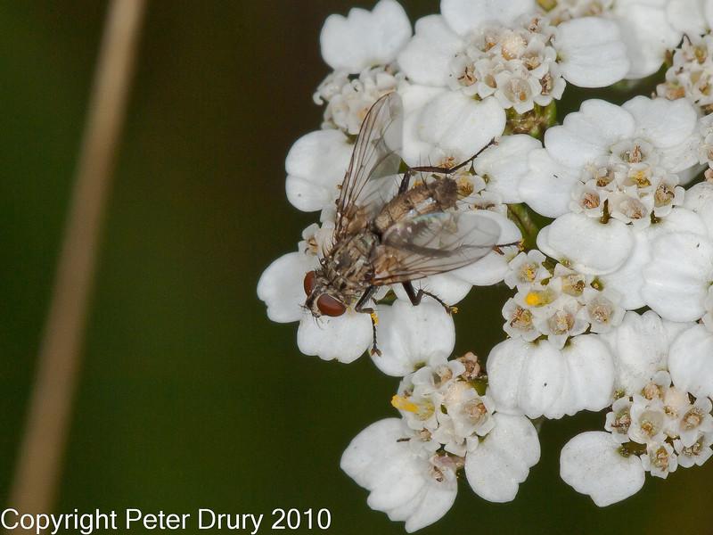 01 Sep 2010 -  Solieria sp. seen at Plant Farm, Portsdown Hill. Copyright Peter Drury 2010<br /> Family: Tachinidae