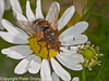 09 Sep 2010 -  Tachina fera at Plant Farm, Waterlooville. Copyright Peter Drury 2010