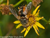 12 Sep 2010 - Tachina fera at Broadmarsh, Langstone Harbour. Copyright Peter Drury 2010