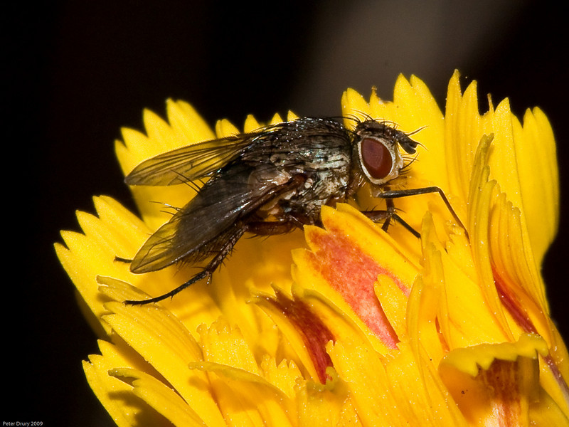 Tachinidae - Exoristinae - Siphona Sp. Copyright 2009 Peter Drury