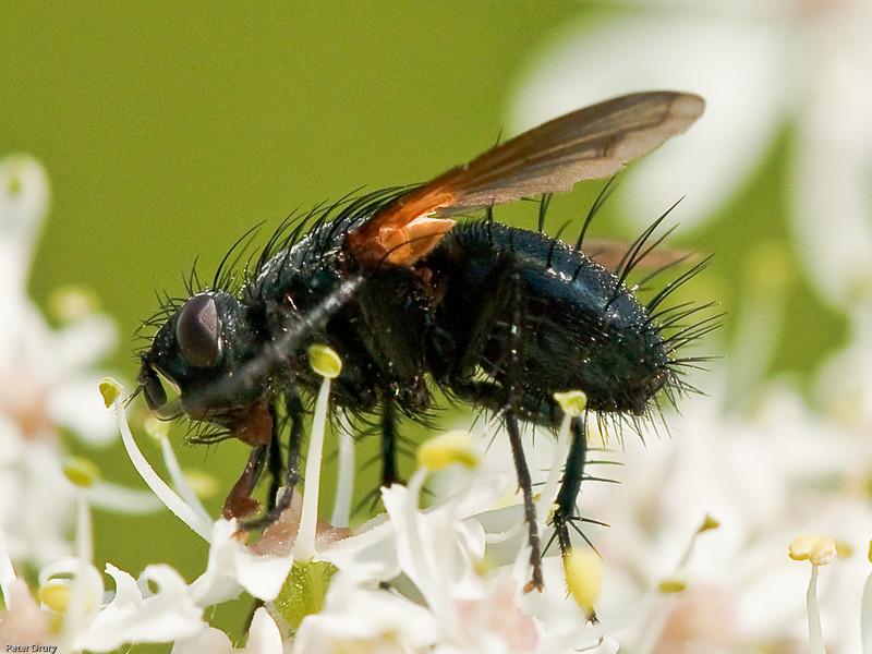 Fly (Zophomyia temula)