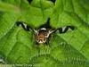 Urophora cardui?. Copyright Peter Drury 2010