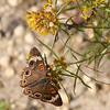Common Buckeye had an excellent year with 696 reports