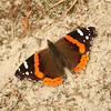 Red Admiral = 815 reports in 2010