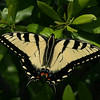 Eastern Tiger Swallowtail = 679 reports