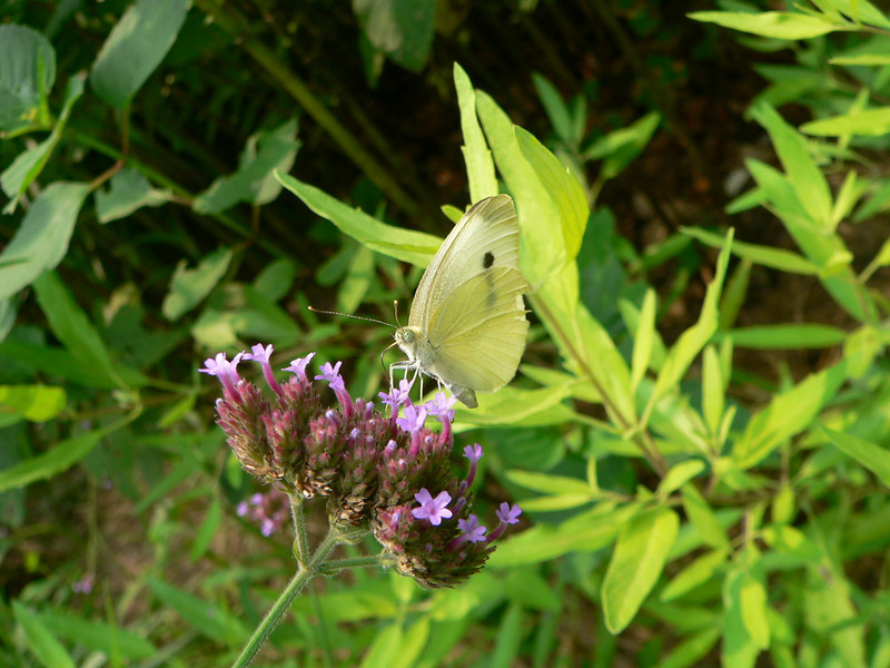 Cabbage White = most commonly reported in 2010:  976 reports