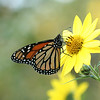 Monarch = 2nd most reported:  865 reports