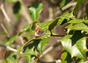 My first Henry's elfin of the spring, Old Port Road, 4-10-08, perching on American holly, its host plant.