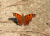 First of 3 pix of same individual comma, <i>Polygonia comma</i>, also flying on Mannheim on 3/14/08.