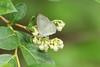 Summer azure, Celastrina neglecta, ovipositing on maleberry flowers, Lyonia ligustrina, Lakehurst 6/17/08