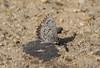 Presumed male C. lucia, marginata morph, Mannheim Ave (Atlantic Co, NJ) 3/14/08