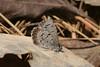 C. lucia in marginata morph, Mannheim Ave (Atl Co) 3/14/08