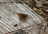 Female cobweb skipper, <i>Hesperia metea</i>, still flying along the RR tracks.