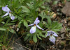 Bird's-foot violet, <i>Viola pedata</i>, along the RR tracks.