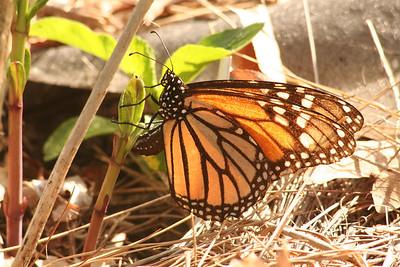 Butterflies in J's Garden