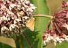 Tawny-edged skipper on common milkweed.