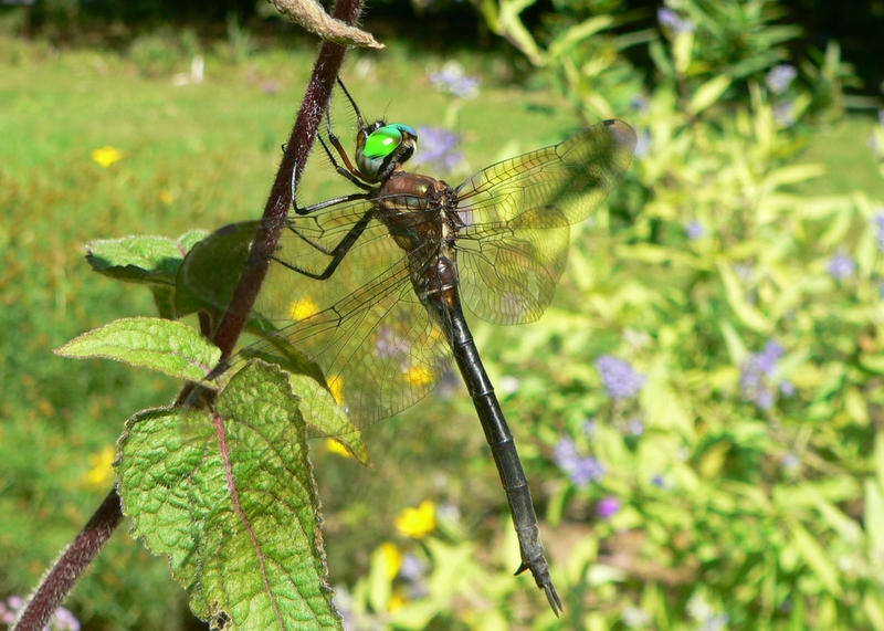 Female clamp-tipped emerald, <i>Somatochlora tenebrosa</i> in garden on 9-4-06. A first for the yard.