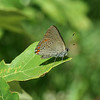 also found a couple of coral hairstreaks...my favorite Satyrium!