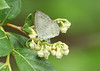 Summer azure, Celastrina neglecta, ovipositing on maleberry flowers, Lyonia ligustrina, Lakehurst 6/17/08