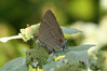 White-M hairstreak on mountain mint in Jesse's Garden, 8/17/08.   This is a species we find in the garden mainly (only?) in late summer/early fall.