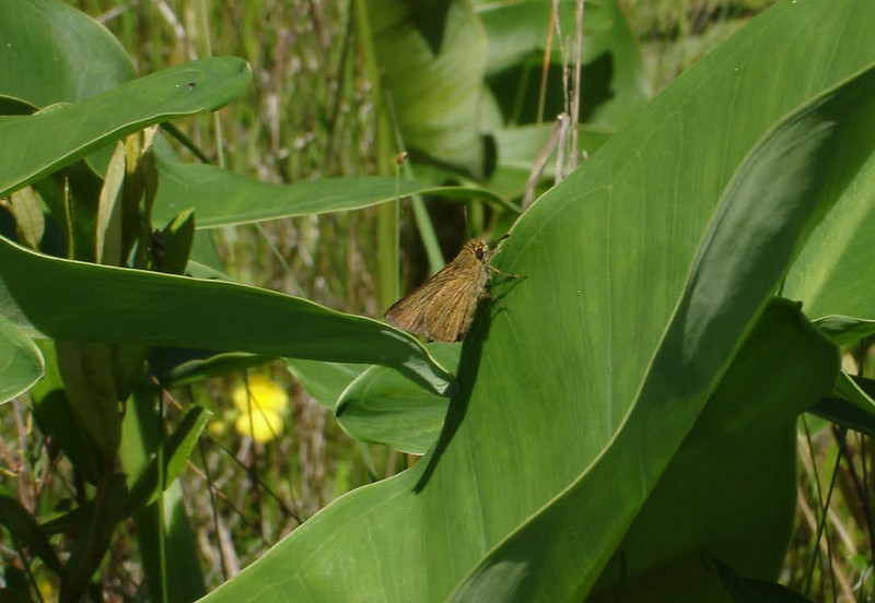 Update: Dave Amadio has emailed to say he agrees Photos #1-5 are swarthy skippers.