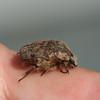 Bumble Flower Beetle, Euphoria inda, 4/9/09
