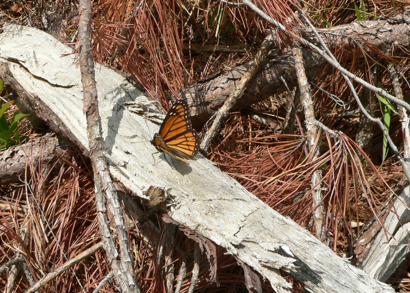 Not a monarch but a viceroy, <i>Limenitis archippus</i>, a butterfly I rarely manage to encounter.