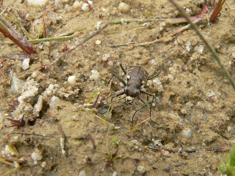 Tiger beetle, <i>Cicindela</i> sp.
