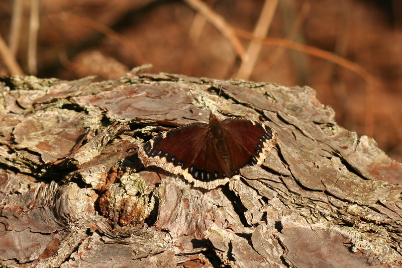 Mourning cloak, Nymphalis antiopa,  along Mannheim Ave in Galloway, dirt road through pitch pine/red maple lowland that leads out to the Mullica River.  March 17, 2010.