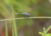 North America's smallest dragonfly -- elfin skimmer, <i>Nannothemis bella</i>, Webbs Mill Bog, 6/18/08.  (I have yet to manage to take a sharp photo of it! Can't seem to get close enough.)