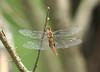 Spot-winged glider, <i>Pantala hymenaea</i>, Lakehurst RR tracks near Klots Bog, 6/17/08