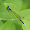 A  turquoise bluet, <i>Enallagma divagans</i>, a male (with mites attached along abdomen), near Ten Trunks, 5/24/09.