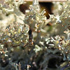 A brown-tipped Cladonia lichen, not sure of the species, but wil try to track it down.