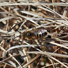 This is one of the early mining bees, possibly in the genus Andrena. Will have to check on Bug Guide.