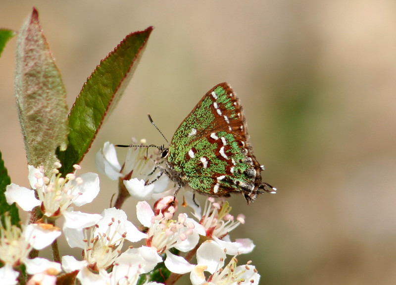 Hessel's hairstreak, <i>Callophrys hesseli</i>, nectaring on <i>Aronia</i> a few yards from stand of white cedar, 5/9/07.