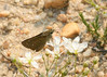 The first dotted skipper we encountered, in sand wasp/sandwort sandy area approx a third of a mile in from 563 on east side of road, about 10 a.m. 6/19.  ID confirmed by Dale Schweitzer.