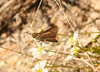 Dotted skipper, 2nd photo of 12:21 individual.