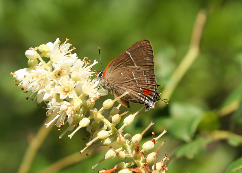 White-m hairstreak on pepperbush near Spong.