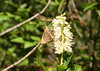 I am not sure about this skipper either, seen along road near Spong (same bush as white-m nectared on).  Is this a tawny edged skipper?  Crescent on HW just visible